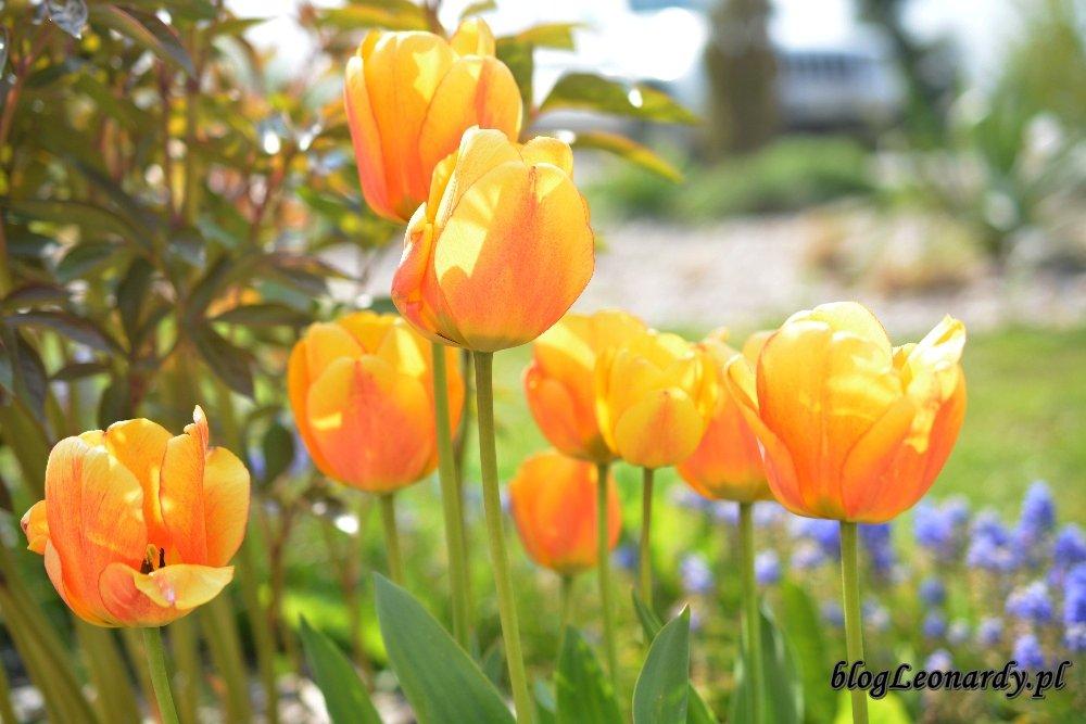 Kwiecień w ogrodzie -żółte tulipany