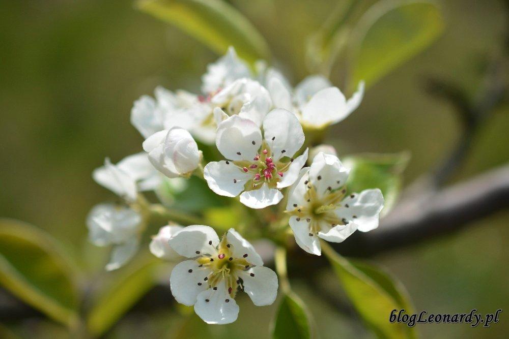 Kwiecień w ogrodzie -grusza (2)