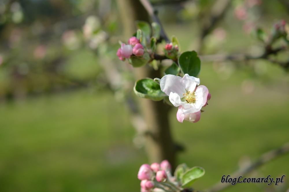 Kwiecień w ogrodzie -jabłoń