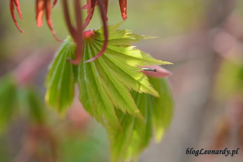 Kwiecień w ogrodzie -klon shirasawy