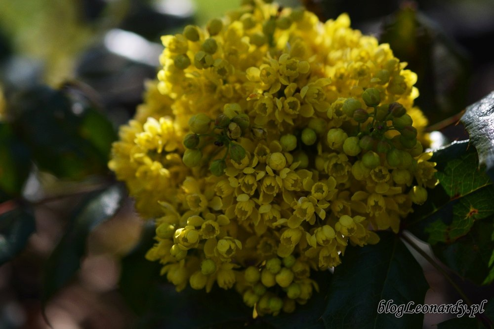 Kwiecień w ogrodzie -mahonia