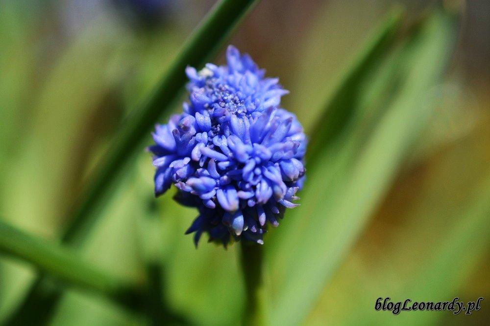 Kwiecień w ogrodzie -szafirek