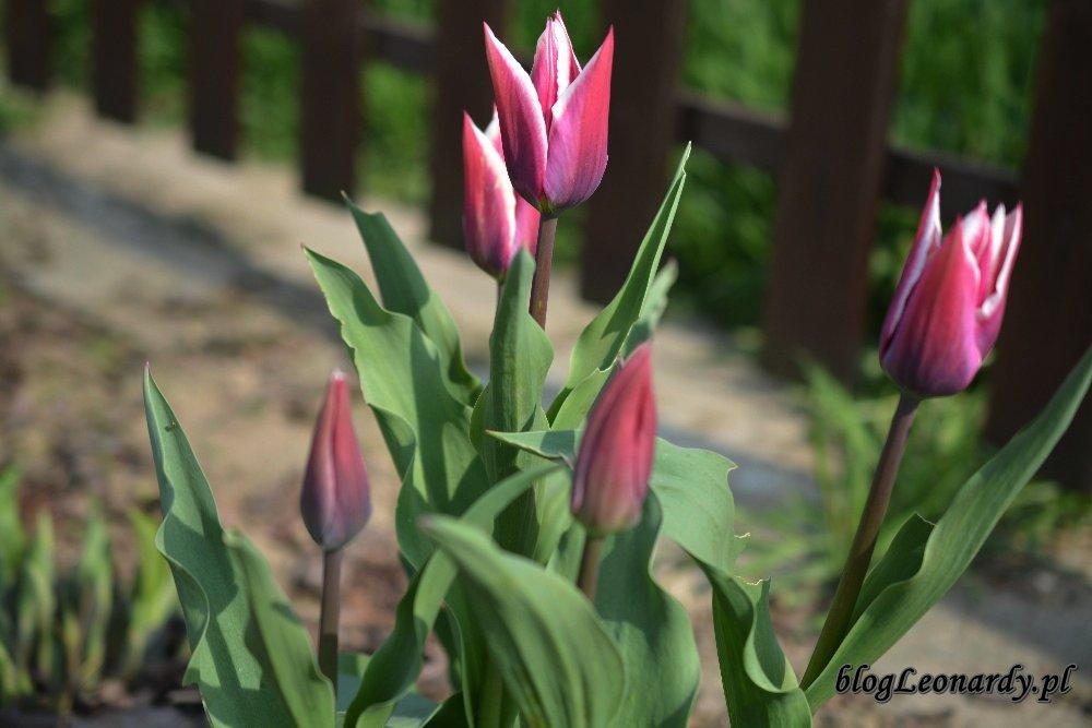 Kwiecień w ogrodzie -tulipany Klaudia