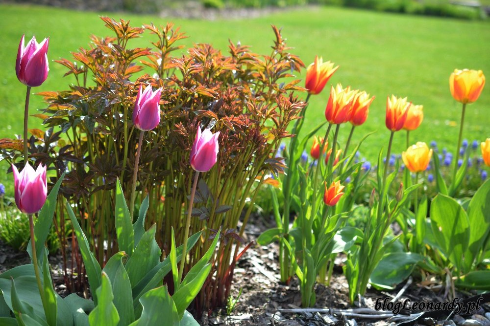 Kwiecień w ogrodzie -tulipany i piwonie