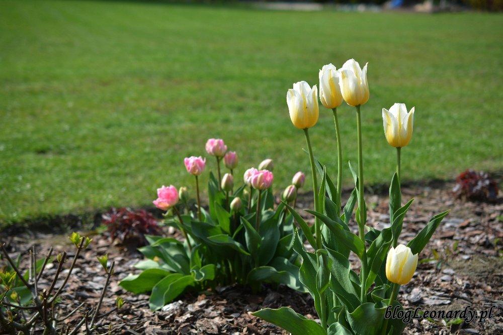 Kwiecień w ogrodzie -tulipany