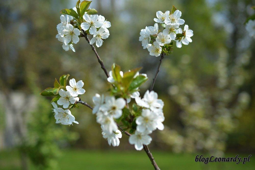 Kwiecień w ogrodzie -wiśnia