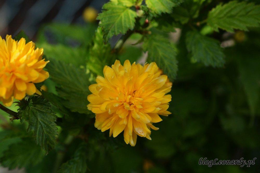 Kwiecień w ogrodzie -złotlin japoński