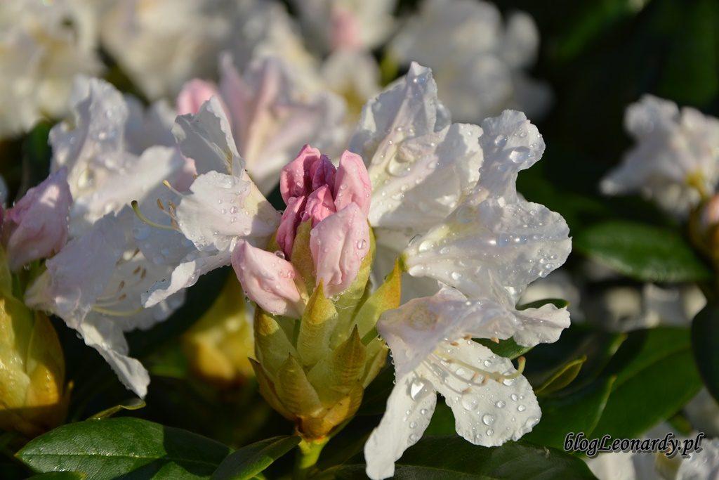 majowy ogród -DSC_0010
