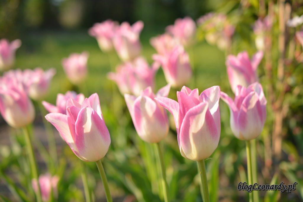 majowy ogród -DSC_0040
