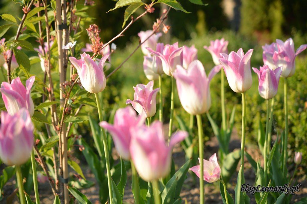 majowy ogród -DSC_0041