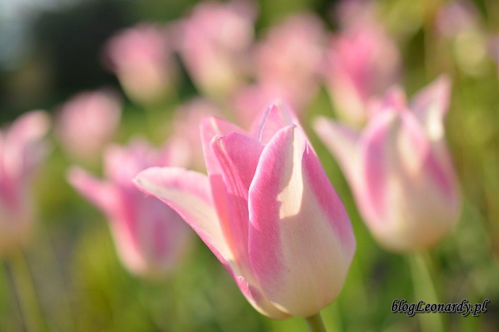 majowy ogród -DSC_0045