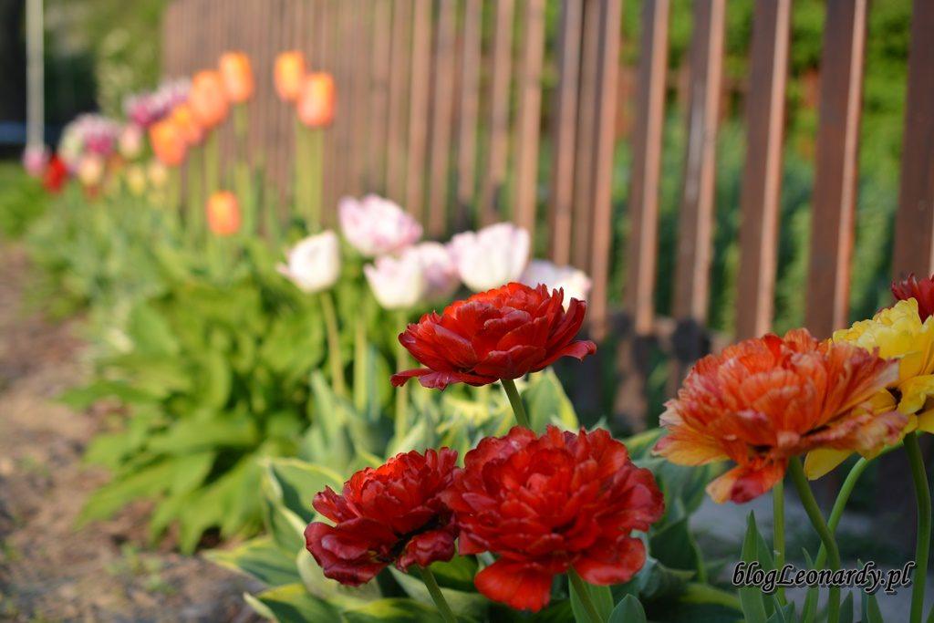majowy ogród -DSC_0104