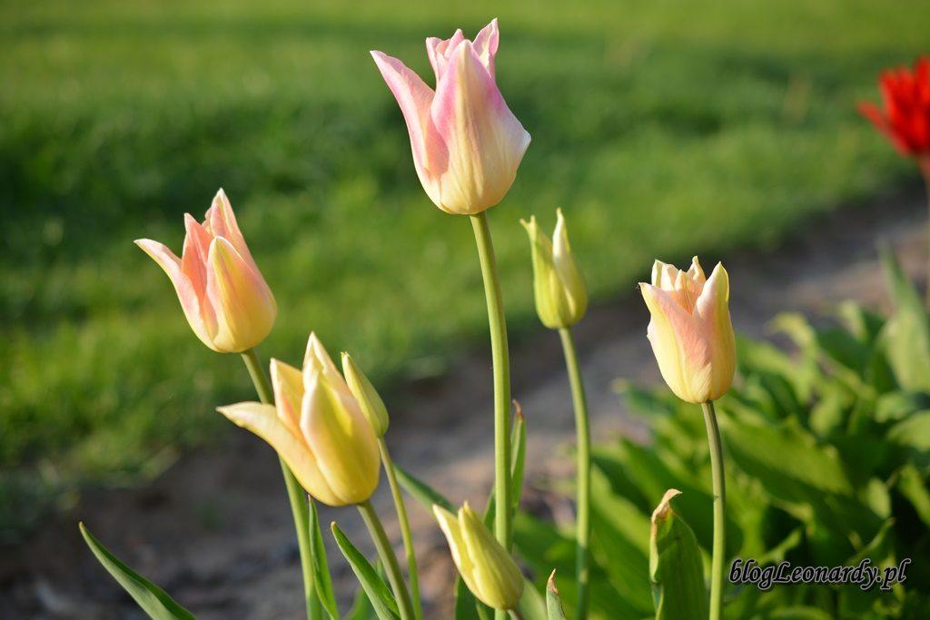 majowy ogród -DSC_0114