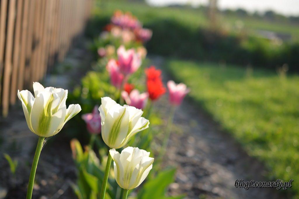 majowy ogród -DSC_0117