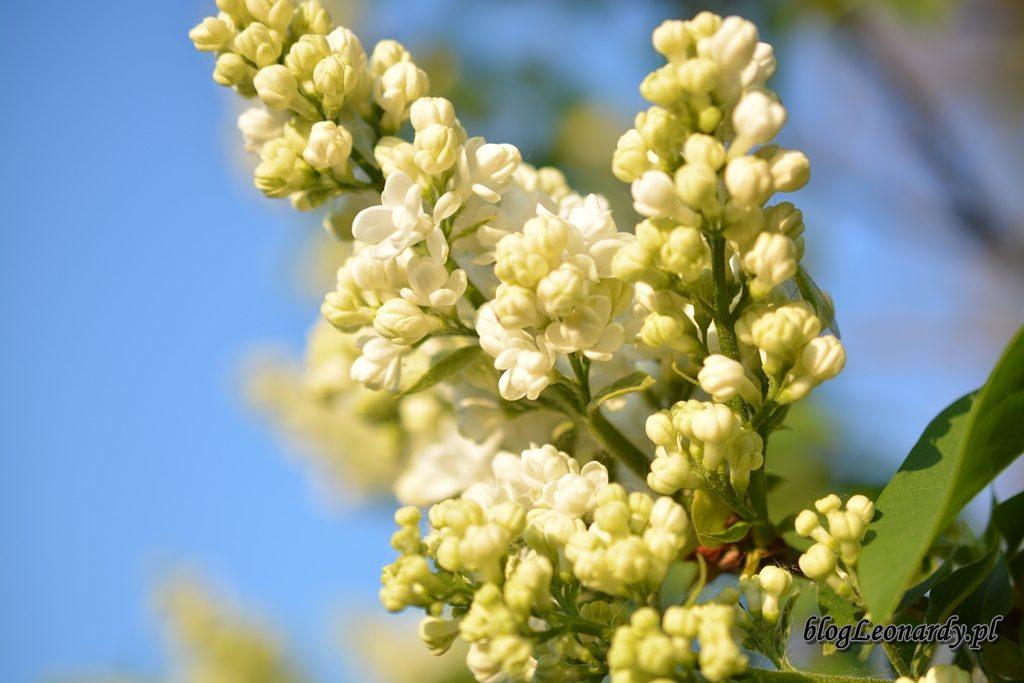 majowy ogród -DSC_0143