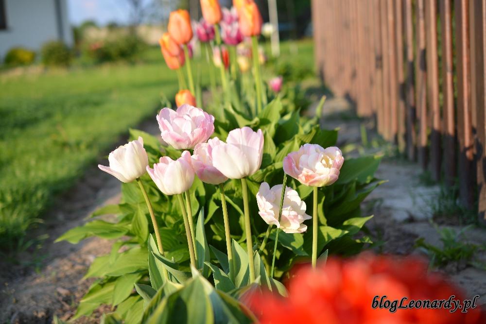 tulipanyDSC_0111