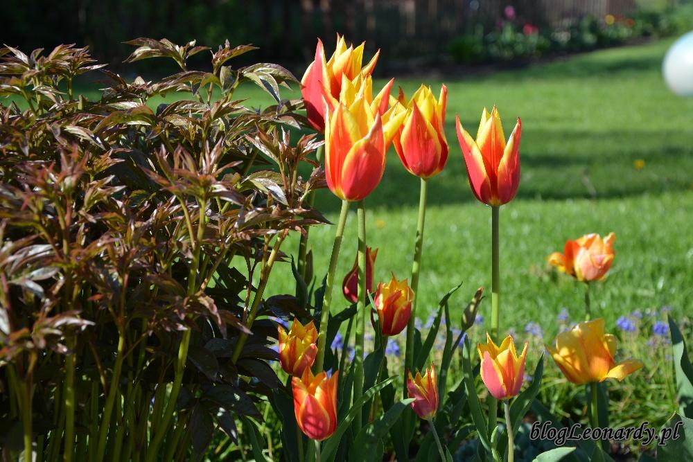 tulipanyballade dream