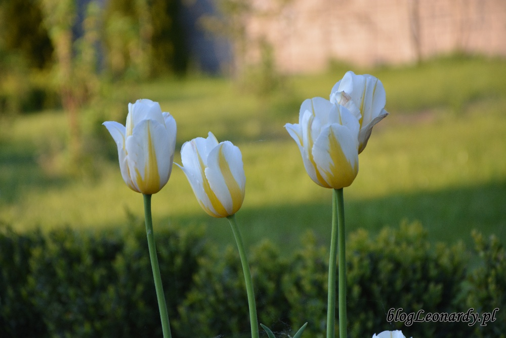 tulipany flaming coguette