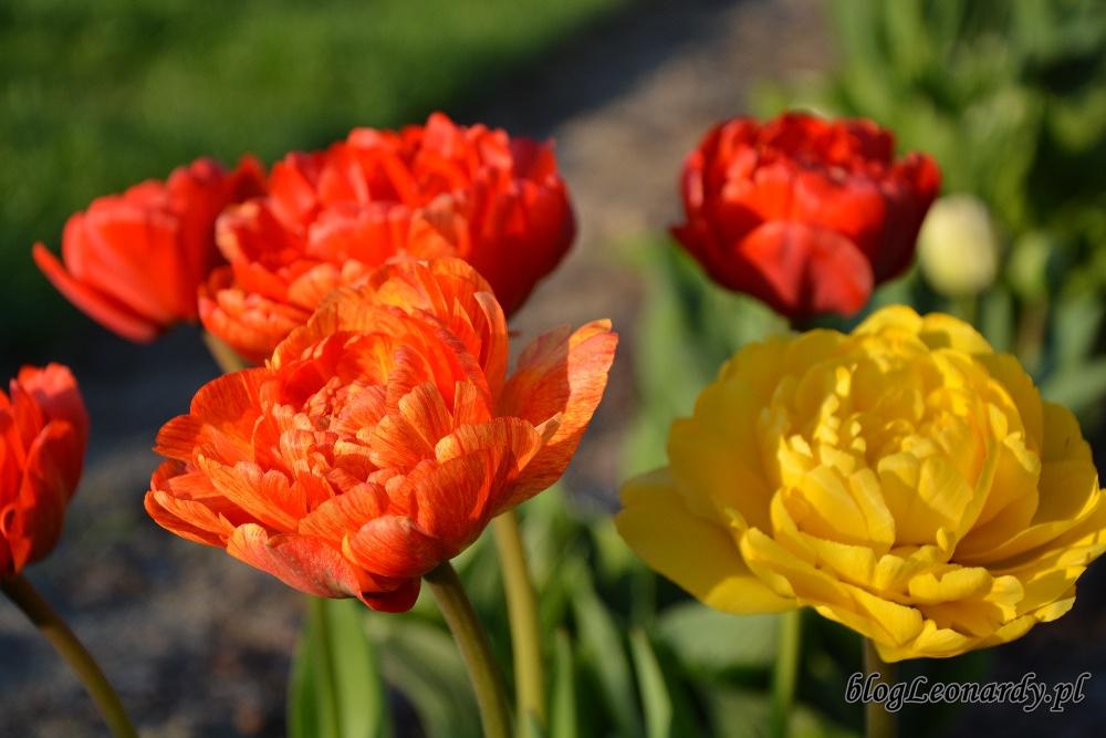 tulipanypełne tulipany