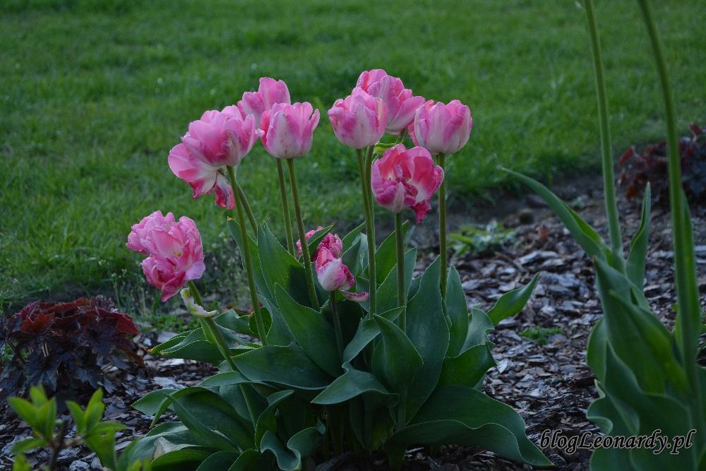 tulipanyróżowe tulipany
