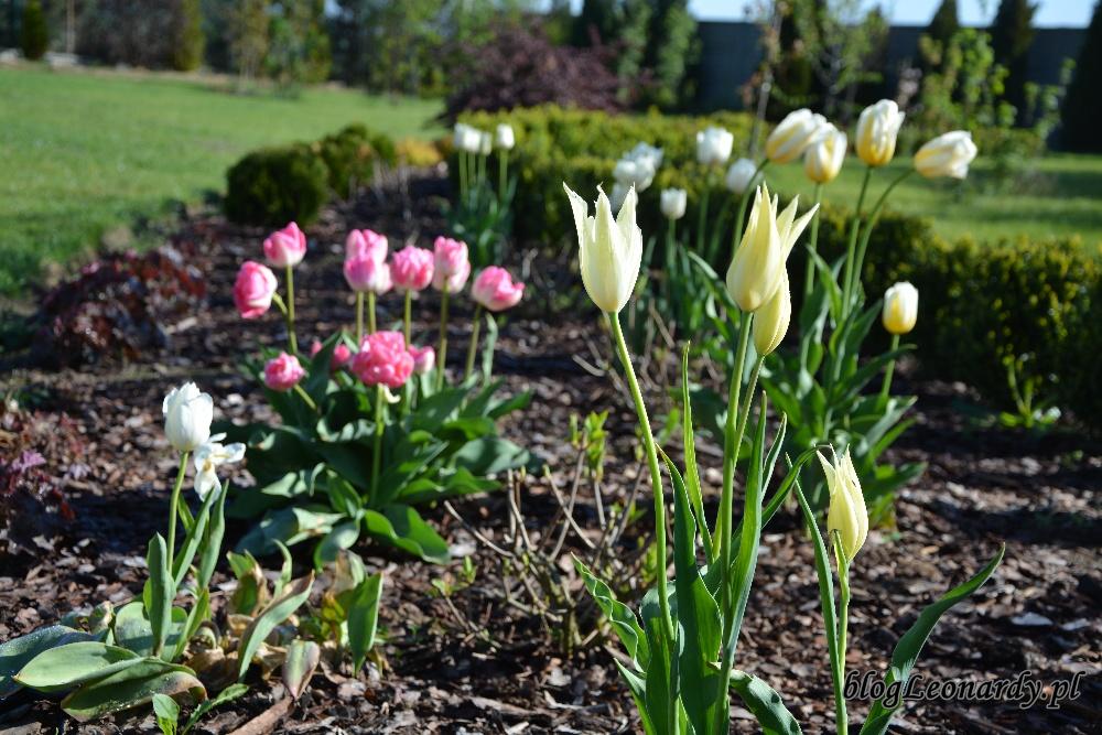 tulipany rabata z tulipanami