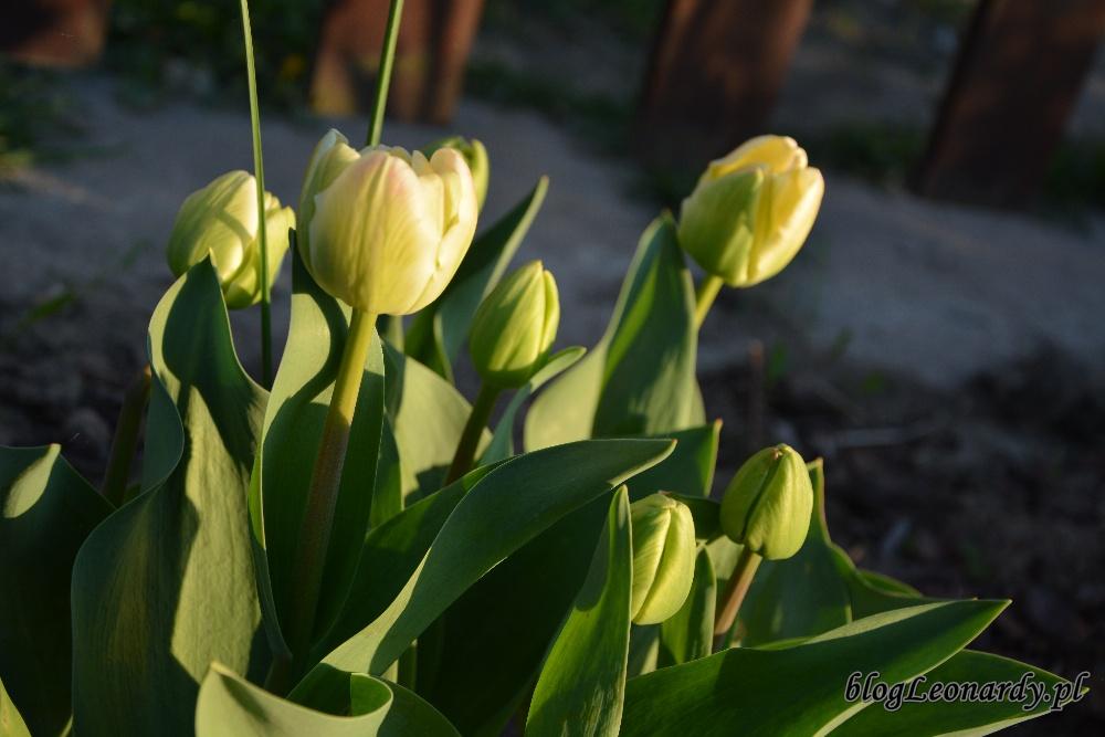 tulipanyspring green tak