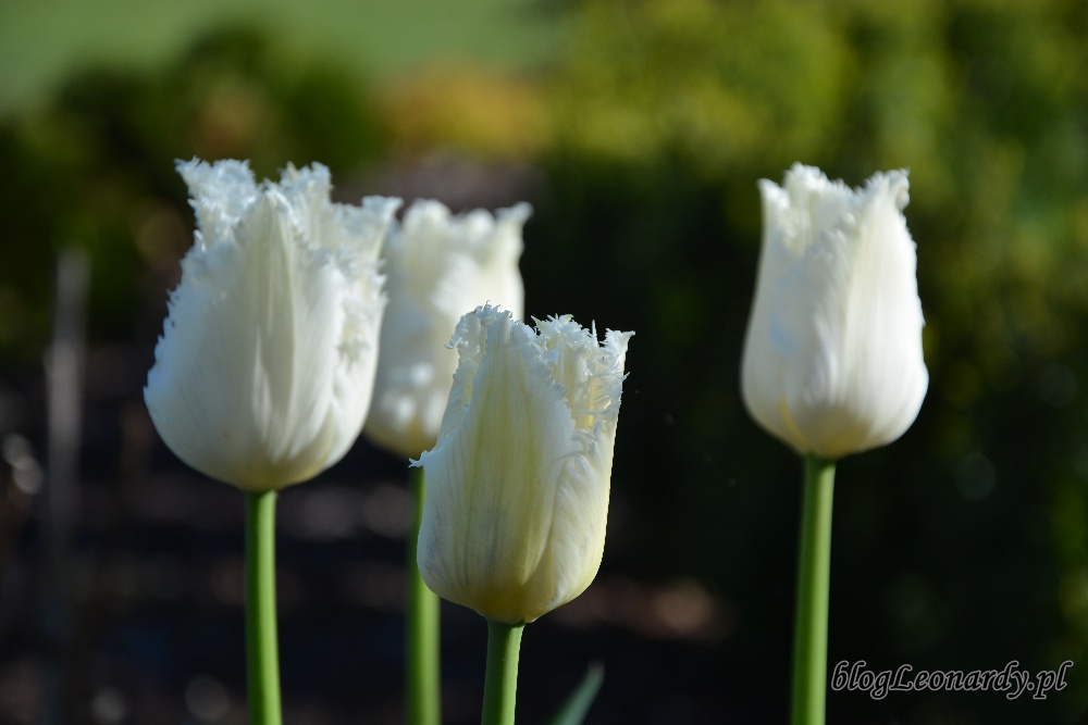 tulipanyswan wings