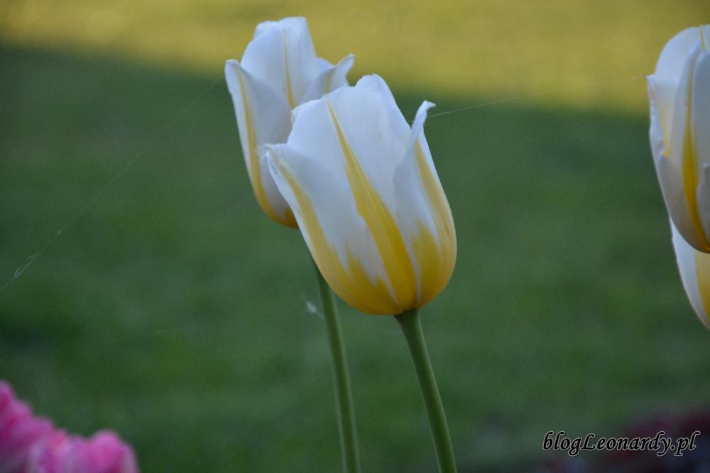 tulipan flaming coguette