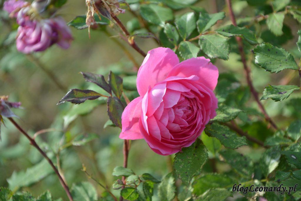 alan titchmarsh róża