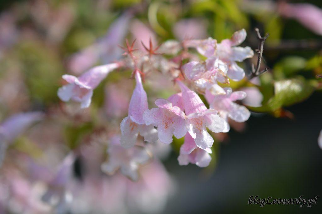 koniec maja w ogrodzie - kolkwicja