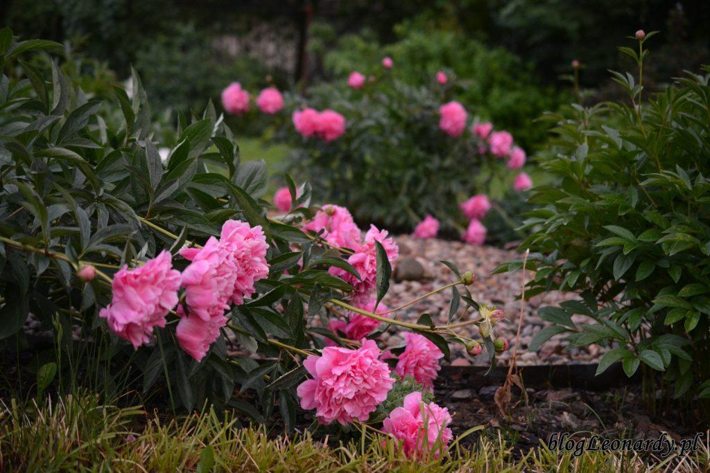 koniec maja w ogrodzie - leżące piwonie