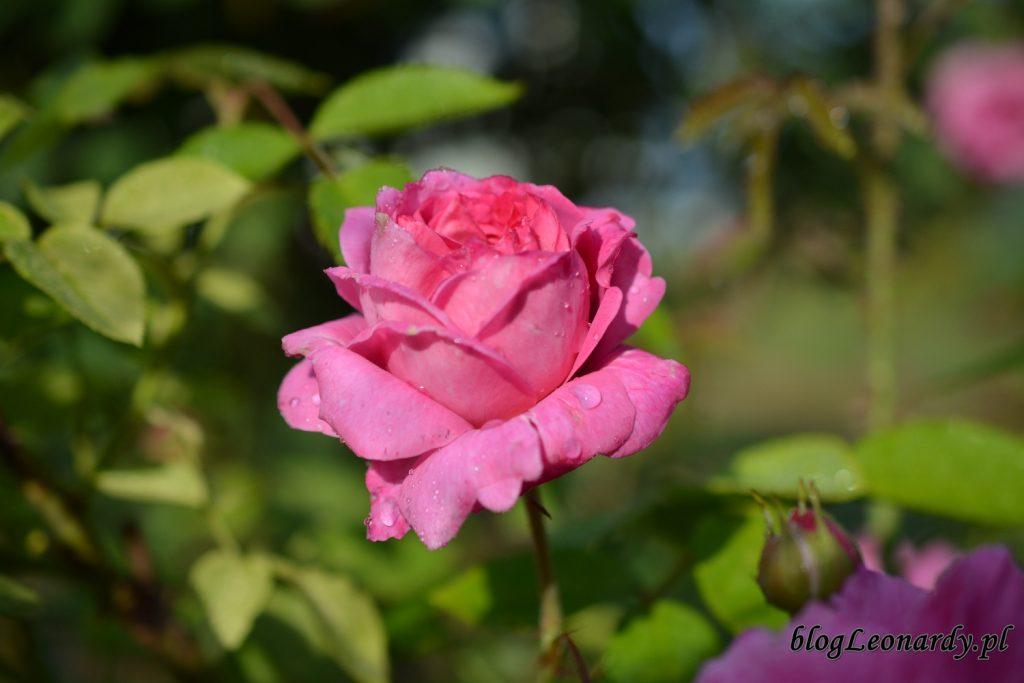 koniec maja w ogrodzie - mary rose