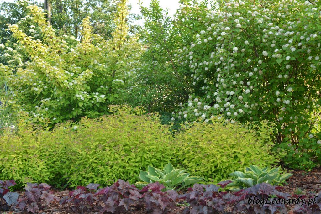 koniec maja w ogrodzie - pęcherznice