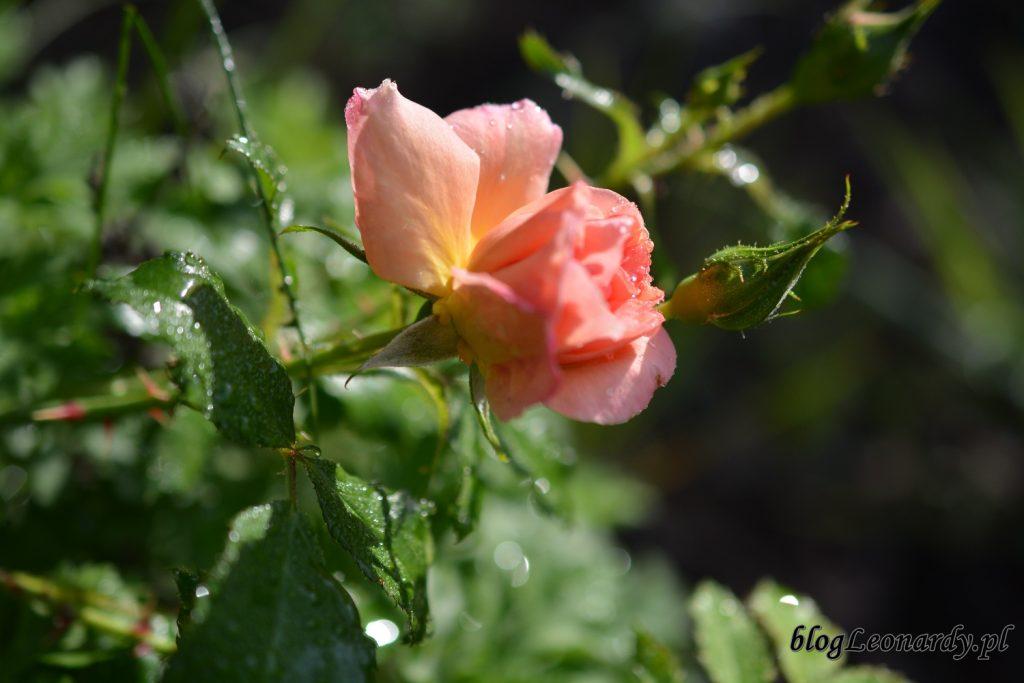 koniec maja w ogrodzie - róża
