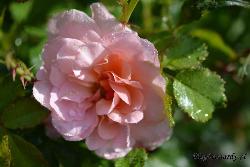 koniec maja w ogrodzie - róża emelie
