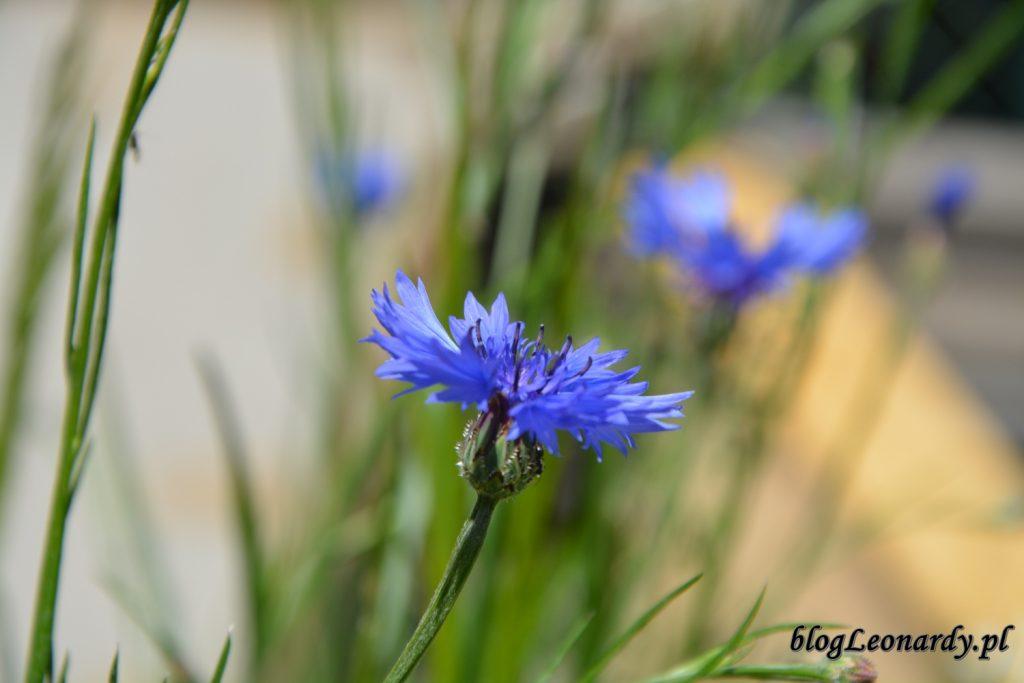lato w ogrodzie - chaber