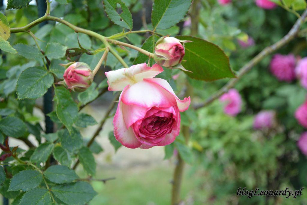 lato w ogrodzie - eden rose 85 (2)