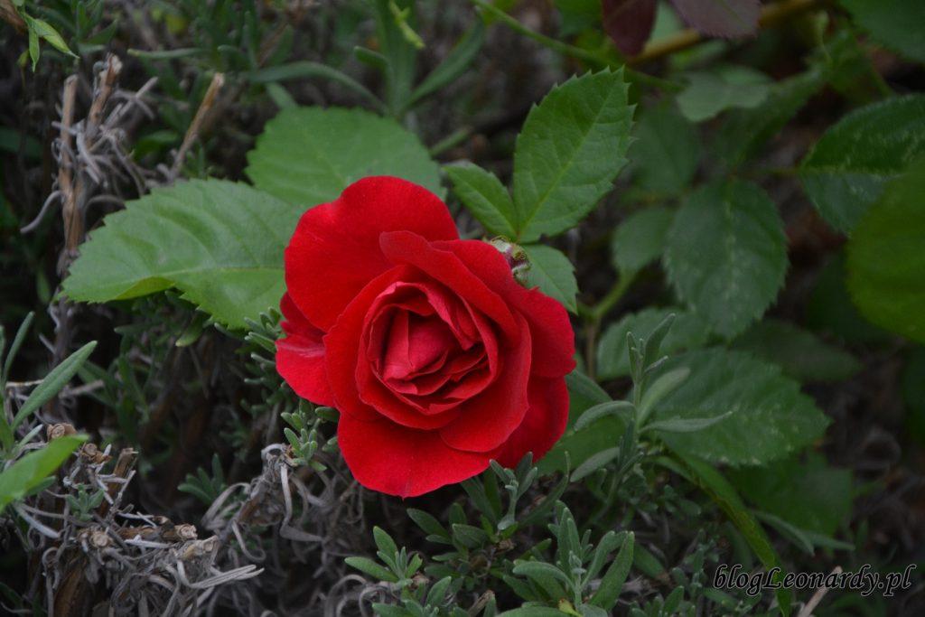 lato w ogrodzie - róża