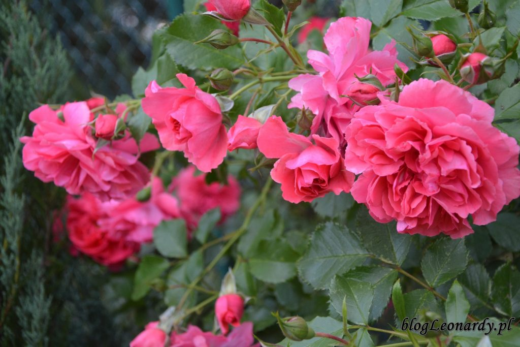 lato w ogrodzie - rosarium uetersen