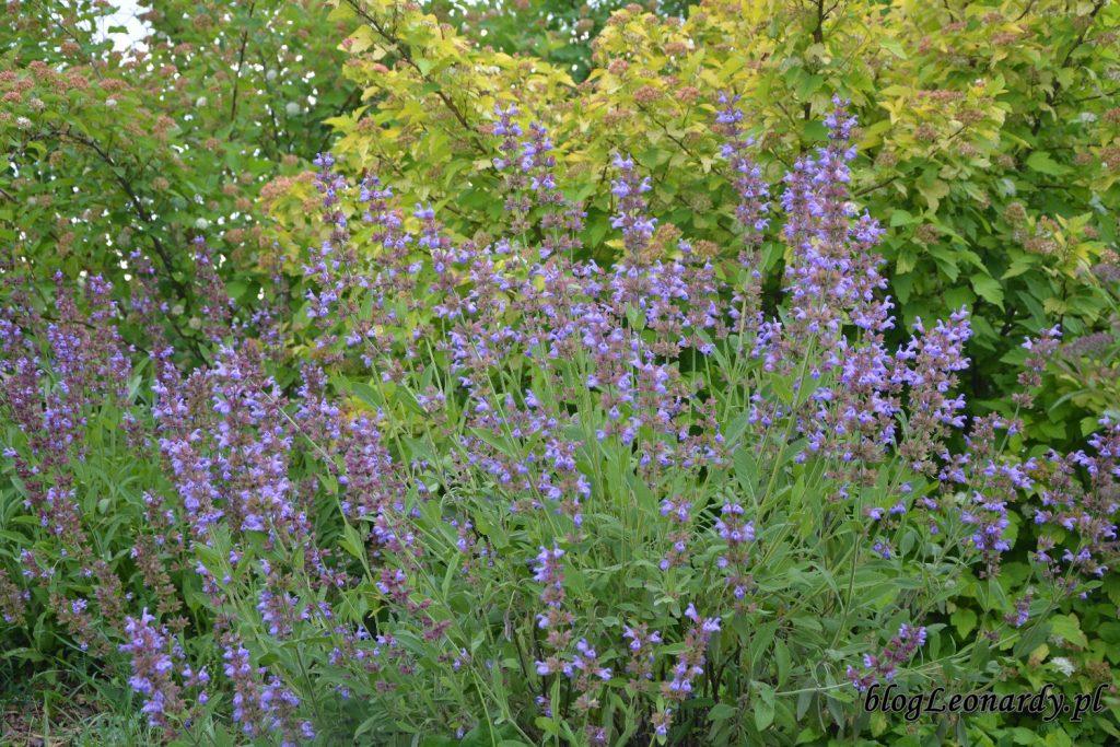 lato w ogrodzie - szałwia (2)