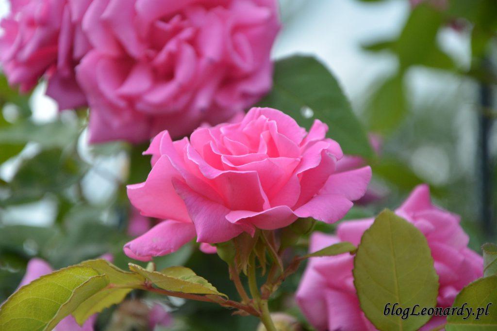 lato w ogrodzie - zephirine (2)