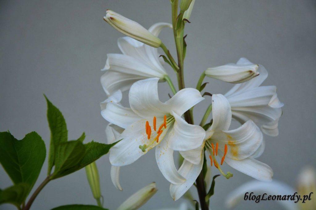 lilia św. Józefa