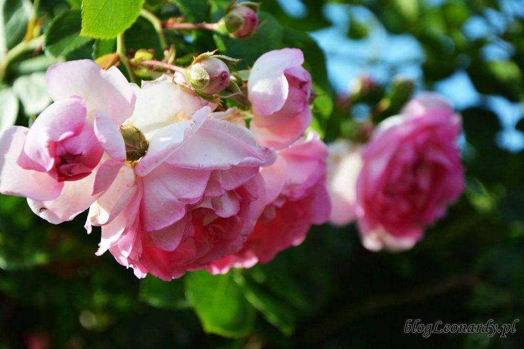 róża jasmina kwiatostan