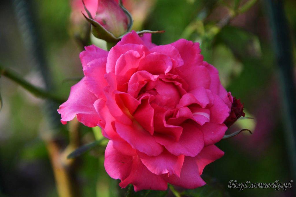 róża maritim
