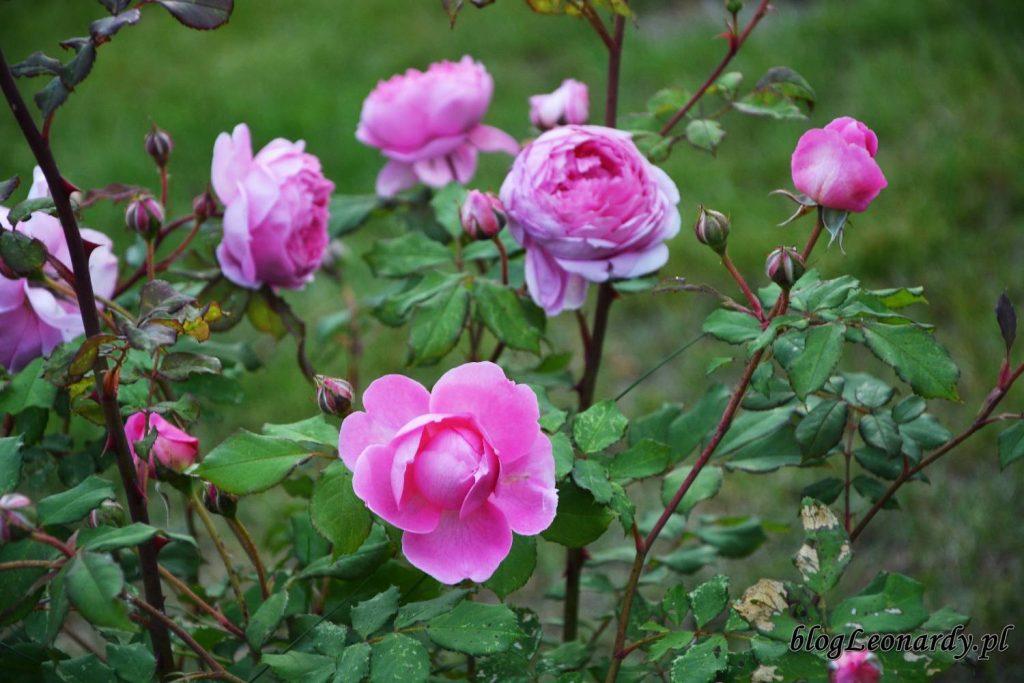 róże -Alan Titchmarsh
