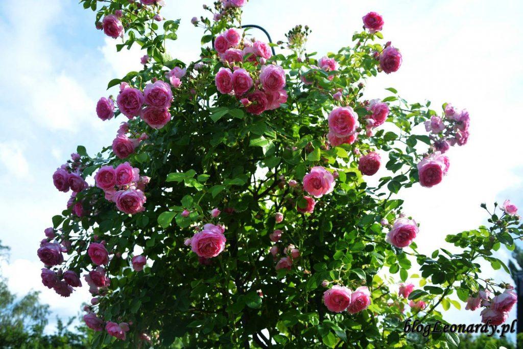 róże -jasmina krzew