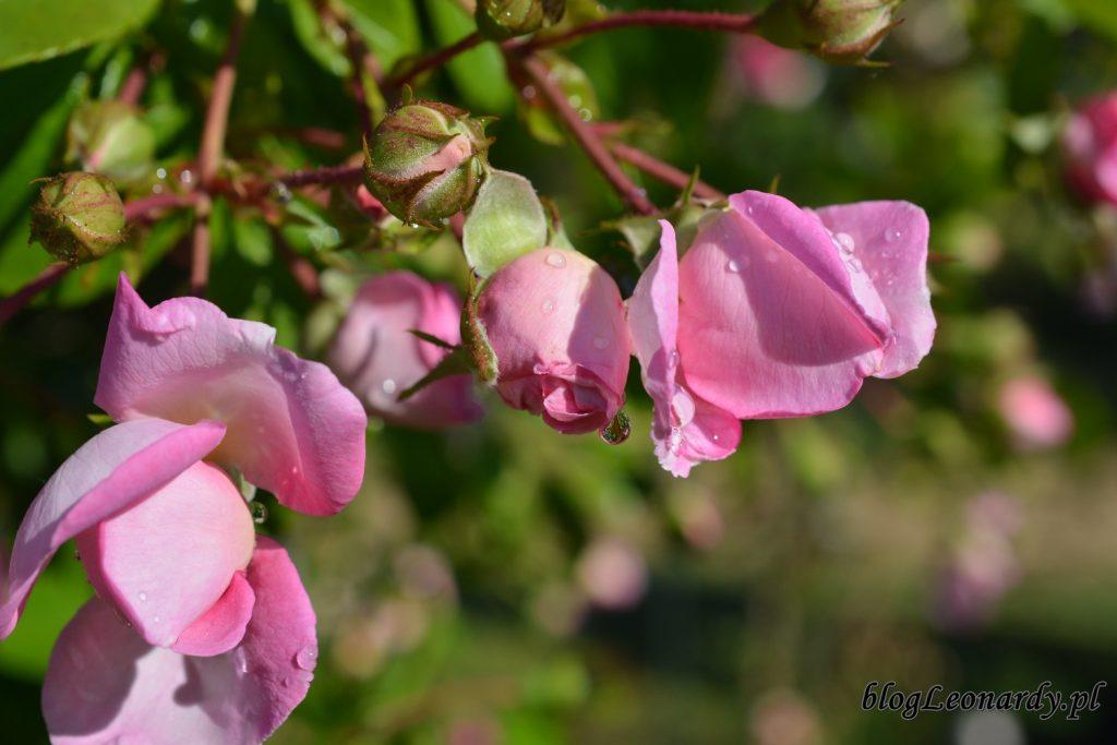 róże -jasmina w rosie