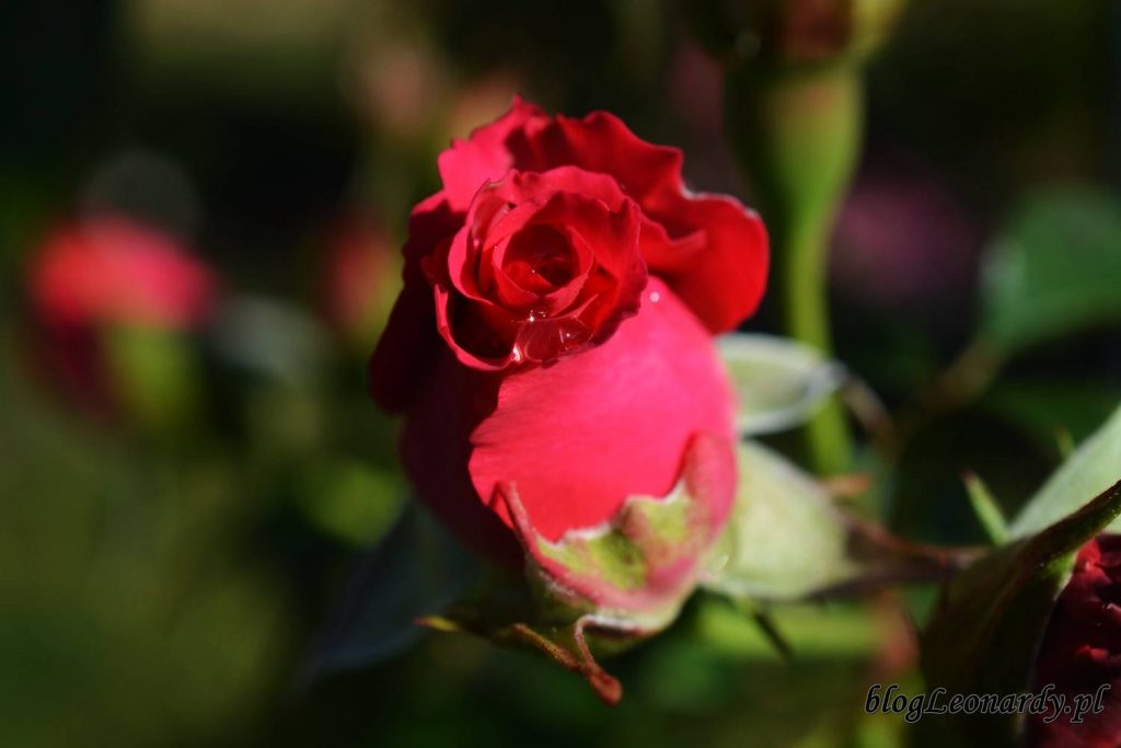 róże -rosanna