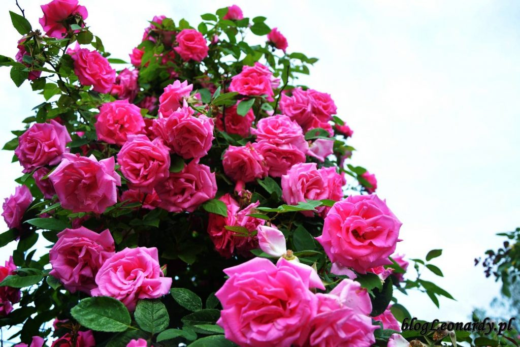róże -zephirine drouhin