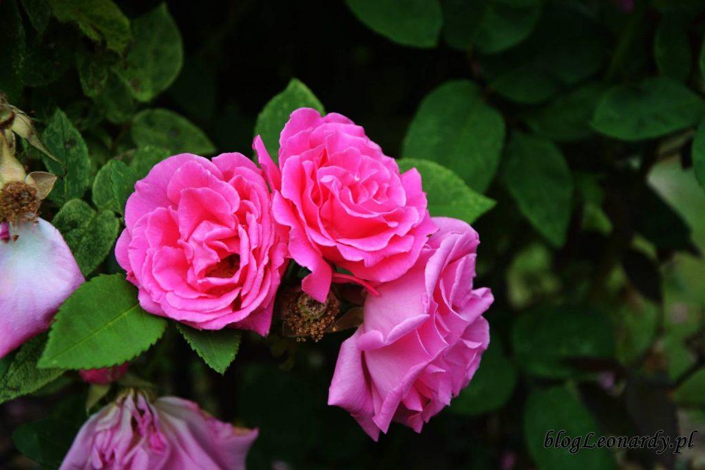 róże -zephirine drouhin kwiaty